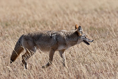 Coyote (msinykin) Tags: animals coyote dogs mammals grandtetonnationalpark wyoming unitedstates elkranchflats