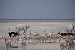 Etosha Nationalpark, Namibia (sibylle_1977) Tags: nationalpark elefant namibia etosha straus