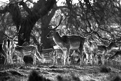 (Doodles N' Dabbles) Tags: blackandwhite nature animals deer fallowdeer mammals