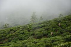 Sri Lanka. Haputale. Glenanore Estate. (Marisa y Angel) Tags: srilanka teafactory 2014 haputale teapickers plantacionesdet