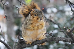 Squirrels in the Snow at the University of Michigan (January 6, 2015) (cseeman) Tags: winter snow cold animal campus squirrels eating michigan annarbor peanut snowing universityofmichigan umsquirrels01062015 januaryumsquirrel
