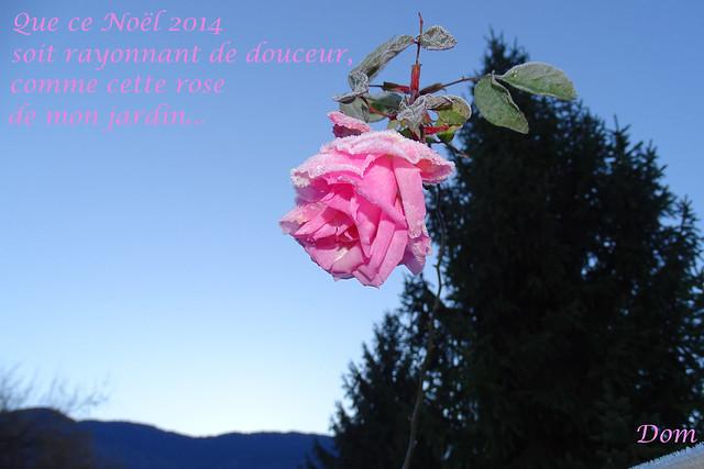 Rose de Noël 2014 voeux