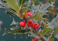 (pauli.lazo) Tags: naturaleza macro tree photo nikon invierno nikonistas acebos beatifulcapture naturalezacautivadora