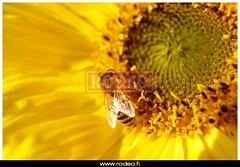 177358xxl (kuvatoimisto.rodeo) Tags: xxl eläin kasvi luonto puutarha kukka hyönteinen keltainen auringonkukka mehiläinen siitepöly ahkera auringonkukat mettä työläinen alkusyksy öljykasvi hyötykasvi viljelyskasvi hunajaa