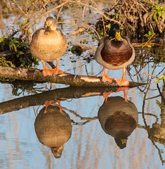Two of a kind (phillipbonsai) Tags: reflection duck mallard drake anasplatyrhynchos leevalleypark leavalleypark