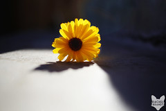 January 10 : Sun on Flower (RachelBrandtPhotography) Tags: light shadow sun flower nature yellow outdoors sandiego rachelbrandt rachelbrandtphotography