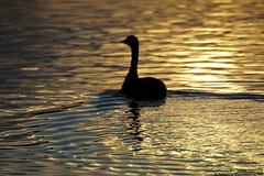 Floating Silhouette (A.Tongue Photography) Tags: sun sunlight water silhouette sunrise glow leicestershire ripple leicester beak feathers goose ripples watermead canadagoose brantacanadensis countrypark watermeadcountrypark