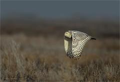 Snowy Owl Cruising. (Daniel Behm Photography) Tags: canada vancouver bc snowy britishcolumbia owl boundarybay snowyowl whiteowl behm owlinflight snowyowlinflight danielbehm