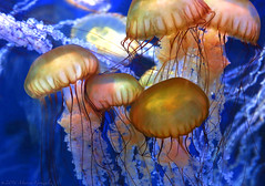 Aquarium of the Pacific 5.14.16 1 (Marcie Gonzalez) Tags: ocean life california lighting trip family light sea orange fish color macro beach wet water beautiful beauty up animal animals yellow closeup swimming swim canon photography lights aquarium movement jellies marine colorful soft long neon jellyfish glow underwater tank close pacific bright under deep floating visit move clear southern round jelly destination glowing oranges gonzalez transparent lovely yellows macros float fishes marcie attraction tanks attractions aquariums aquariumofthepacific glide destinations jellyfishes marciegonzalez marciegonzalezphotography