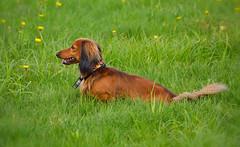Long-haired dachshund. #Dog (L.Lahtinen) Tags: dog nature field animal finland spring dachshund nikkor luonto nikond3200 longhaireddachshund kevt koira myrkoira 55300mm