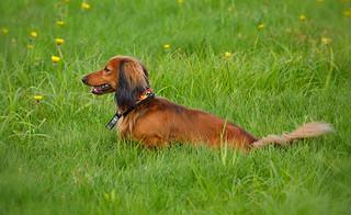 Long-haired dachshund. #Dog
