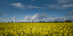 Rape Field with Blue Sky and Clouds (RalfK61) Tags: panorama 04 landwirtschaft natur felder himmel wolken gelb april blau drama 169 bume raps horizont frhling blten 2016
