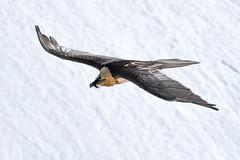 Bartgeier (pesche.baumer) Tags: geier greifvgel ornithologie bartgeier