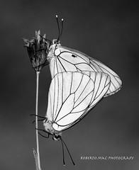 L'AMOUR!! (Roberto.mac.) Tags: bw landscapes natura campagna lamour biancoenero verticale mattino farfalle robertomac fantasiadelbw