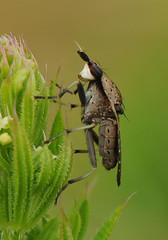 Euthycera cribrata (Fotografa de Naturaleza de Paco Moreno Gmez) Tags: parque espaa naturaleza fauna andaluca flora natural huelva sierra mosca picos fotografa diptera aracena diptero aroche