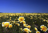 My Mother's Eyes (Day Night Tripper) Tags: california ranch flowers trees sky horses foothills lake mountains nature vegetables grass birds fruit clouds daisies creek river landscape pond rocks stream desert cows sheep mother may trails fences rope canals hills mothers valley swamp rivers poppy poppies barbedwire farms crops wildflowers roads agriculture grassland shrubs canyons forests taft aquaduct tehachapi bakersfield mothersday saddles lupine gorman arvin kernriver tidytips goldfields rangeland mayflowers kerncounty frazierpark mothersdayflowers fiddlenecks carizzoplain lakeisabellaca hillsidedaisy