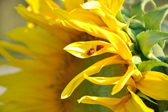 Weinviertel Niederosterreich Mollmannsdorf DSC_0682 (reinhard_srb) Tags: rot up close pflanze gelb blume makro insekt niedersterreich sonnenblume marienkfer weinviertel mollmannsdorf