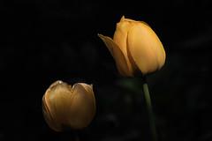 Golden Light (Brian 104) Tags: flowers tulips onblack ottawatulipfestival