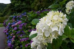 -1154 (Mio:D) Tags: flower hydrangea  ise