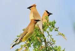 cedar waxwings at Cardinal Marsh IA 854A7986 (lreis_naturalist) Tags: county cardinal reis iowa larry cedar marsh waxwings winneshiek