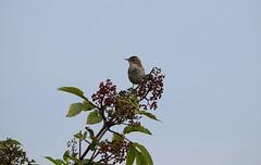 Wren (careth@2012) Tags: bird nature wildlife beak wren