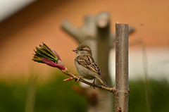 New Buds (Macca6691) Tags: trees tree bird nature birds garden outside outdoors branch outdoor branches birdfeeder scarborough birdtable housesparrow passerdomesticus birdwatching northyorkshire birdfeeders gardenbirds springwatch sycamoretree newbuds spring2016 springwatch2016