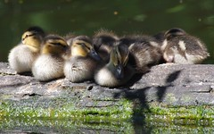 Sleepy ducklings (jasbond007) Tags: wild canada bird animal mammal duck pentax britishcolumbia wildlife duckling young delta mallard ladner anasplatyrhynchos westhamisland reifelbirdsanctuary smcpentaxda300mmf4edifsdm nigeldawson jasbond007 hdpentaxda14xawafrearconverter k3ii copyrightnigeldawson2016