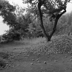 Fallen ume fruits (odeleapple) Tags: bw film fruit fallen fujifilm ume fujinon 80mm neopan100acros gf670