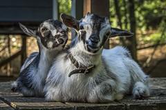 Baby Nigerian Pygmy Buckling Goats (Freshairphotography) Tags: cute animals kids farm young adorable goat vancouverisland goats pygmygoat babygoat farmanimal northsaanich dwarfgoat farmbaby snowymaplefarm nigerianpygmybucklinggoat