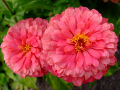 Zinnia (yewchan) Tags: flowers flower nature colors beautiful beauty closeup garden flora colours gardening vibrant blossoms blooms zinnia lovely zinnias youthandoldage