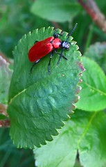Red Beetle (J. Roseen) Tags: summer garden leaf outdoor beetle blad sommar trdgrd lumia skalbagge pureview lumia950