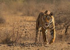 TIG01737GB_1 (giles.breton) Tags: india tiger tigers endangered ranthambhore panthera threatened andyrouse ranthambhorenationalpark pantheratigristigris royalbengaltiger dickysingh