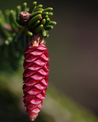 "picea orientalis ""wittbold"" (spencerrushton) Tags: wood pink sun colour macro nature gardens pine canon garden outdoors windsor pinecone spencer manfrotto windsorgreatpark heathergarden canonl canonlens manfrottotripod canon100mmf28lmacroisusm spencerrushton 760d canon760d efcanon100mmf28lmacroisusm piceaorientaliswittbold"