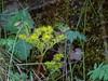Pacific Stonecrop or Pacific Sedum--Sedum spathulifolium (Polioptila caerulea) Tags: plant stonecrop pacificstonecrop pacificsedum sedumspathulifolium mosquitoridgerd placercounty california nevadacountybreedingbirdatlas sedum
