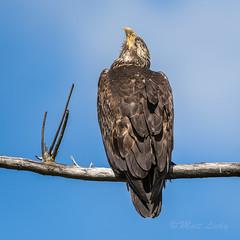 Strike a Pose (mLichy911) Tags: seattle portrait bird nature canon pose spring eagle wildlife young bald raptor wa pnw igotmyeyeonyou 500f4 7dmarkii