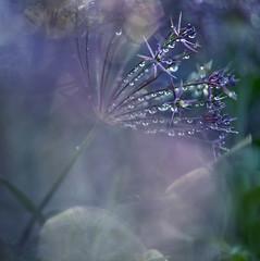 Bangle of bells (Franci Van der vyver (Carmen Tulum)) Tags: summer macro wet drops spring jewelry pearls dew laughter allium