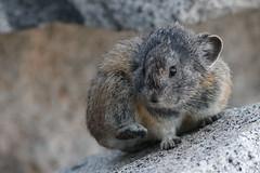 American Pika (N_A_Waters) Tags: california nature animal mammal wildlife nevada sierra pika