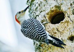 Red-bellied Woodpecker Outside Nesting Hole (Susan Roehl) Tags: backyard2016 naplesfl redbelliedwoodpecker female picidaefamily melanerpescarolinus sueroehl panasonic lumixdmcgh4 100300mmlens handheld animal outdoor bird ngc coth5