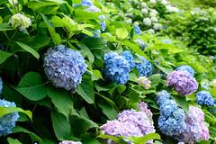 28Yamada Pond Park (anglo10) Tags: flower japan