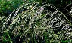 summer breeze (samm.doyle) Tags: sunlight grass woodland breeze common swaying warsash