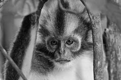 Thomas's langur (Presbytis thomasi) (Lincoln Frank Allen) Tags: conservation thomas leaf monkey sumatra indonesia natinional park bukit lawung gunung leuser jungle trekking canon 7d closeup black white