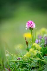 The nigritella season has started (Tschissl) Tags: flowers austria sterreich orchids pflanzen blumen location steiermark orchideen nigritella leobenumgebung