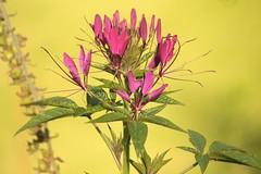 Cleome (Henry Hemming) Tags: garden cleome spiderflower cleomaceae