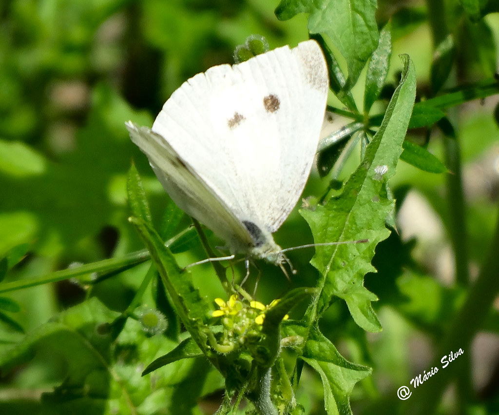 Águas Frias (Chaves) - ... borboleta branca ...