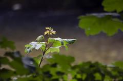 Sometimes the sun shines here (Fernando F. Fernandez) Tags: asturias espaa europa principadodeasturias cangasdeonis riosella nikon naturaleza nature flores flowers outdoor airelibre macro zoom river