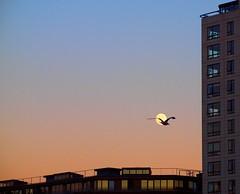 Moonshot (nl042) Tags: seagull moon silhouette dusk grandcanaldock docklands dublin