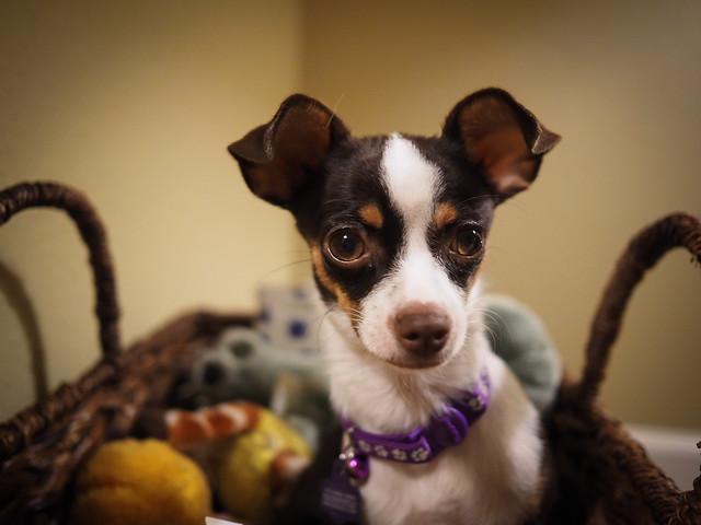 portrait dog pets chihuahua zoey stuffedanimals