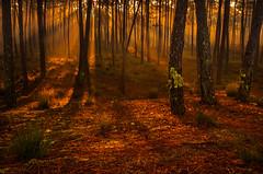The Forest (paulosilva3) Tags: mist portugal forest sunrise landscape lee filters mistyc naturescape polariser ovar
