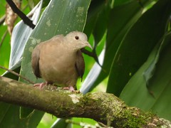 Tortolita (Jorge Sols Campos) Tags: bird animal fauna costarica pigeon dove wildlife paloma ave wildanimal pjaro animalsalvaje prezzeledn vidasalvaje