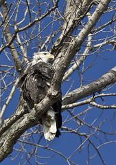 0766L&D14b (preacher43) Tags: nature birds river mississippi illinois lock dam 14 bald iowa eagles